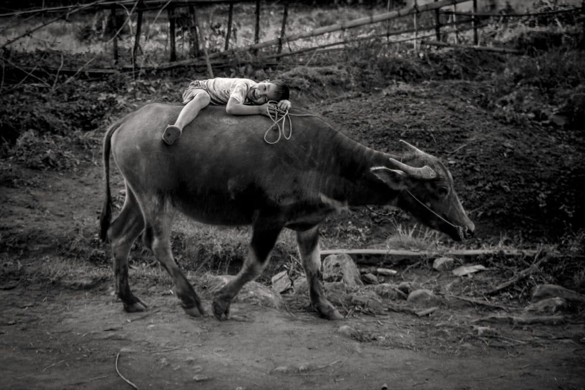 Myanmar bull ride